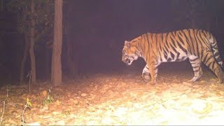 Finally Wild TIGER Caught On Camera 🐅