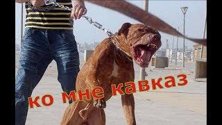 какая собака сильнее питбуль или кавказская овчарка собачьи разборки