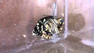 剛羽化出來的蝴蝶翅膀還濕濕的...重重的...