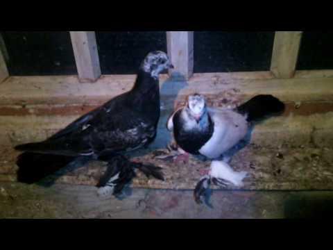 Мои голуби (таджики, майкопы, моздоки)