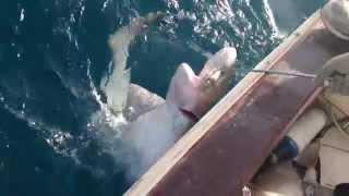 Un requin pecher a krichtel oran Algér(par khaled)