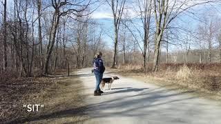 Best Dog Training Toledo, Ohio! 4 Year Old American Fox Hound, Duke!