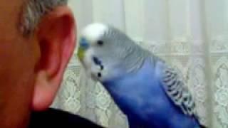 Konuşan Muhabbet Kuşu Can - HB