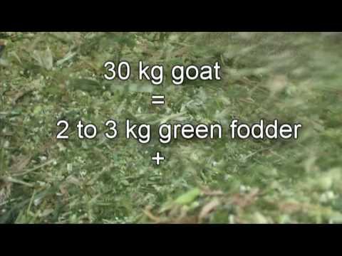 Nimbkar BoerGoat Farm 2 :  Feeding