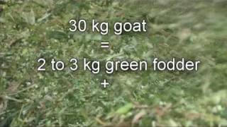 Nimbkar BoerGoat Farm 2 :  Feeding