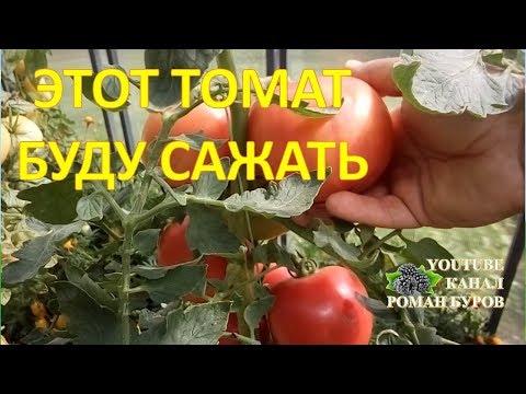 Помидоры, которые хочется выращивать. Обзор томата Мажор ф1. Выращивание томатов в теплице.