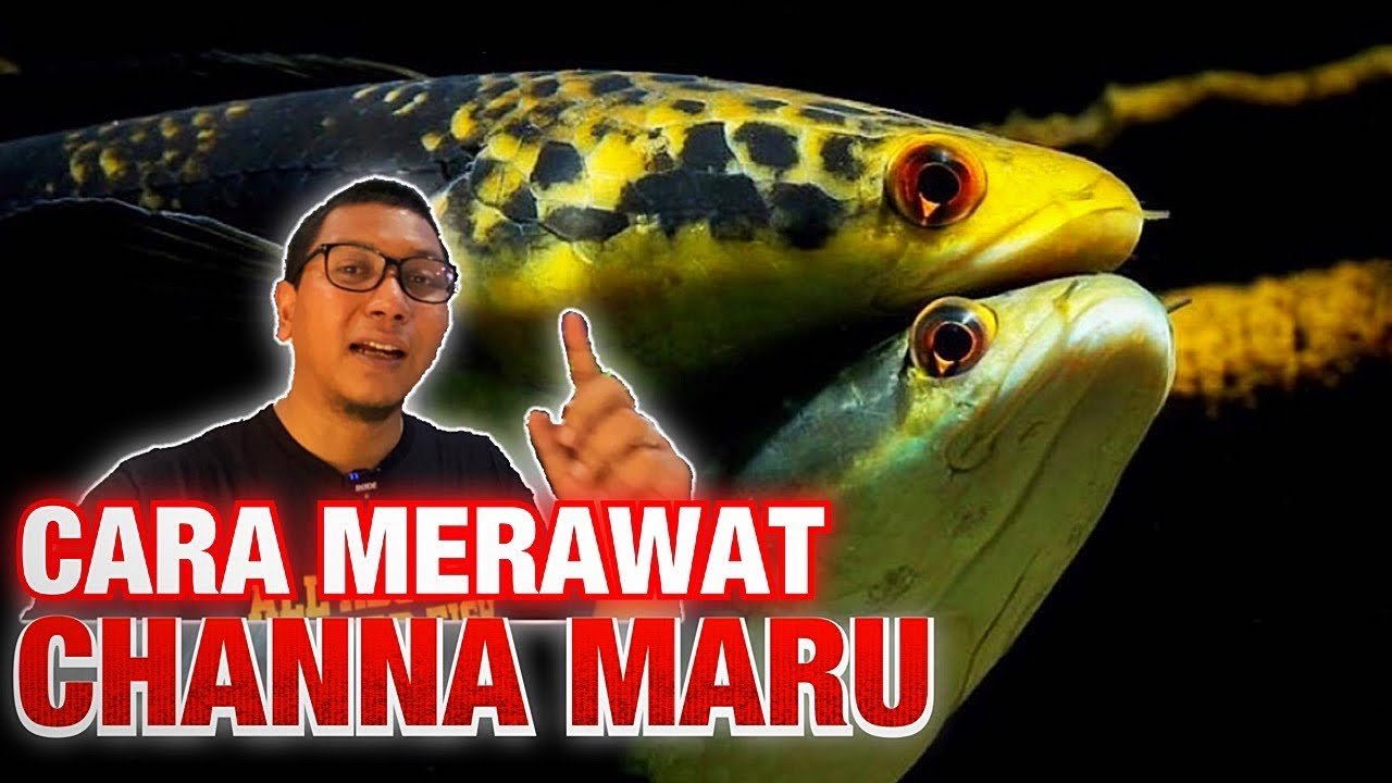 Rahasia Perawatan Ikan Channa Maru Di Aquarium Review Ikan Predator Youtube
