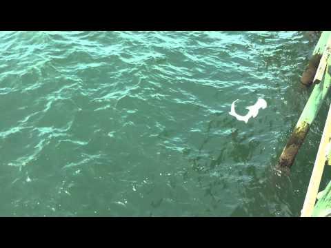 Shark Eats Another Shark - Cherry Grove Pier, SC
