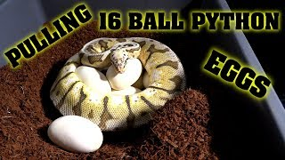We Pulled 16 Ball Python Eggs!!!