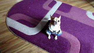 Мини чихуахуа выпрашивает вкусняшку \ Mini Chihuahua begging for delicious