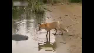 лиса охотится на сома