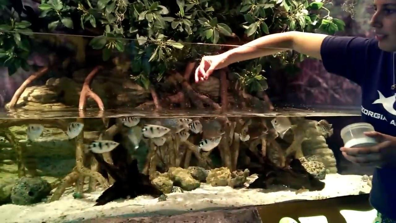 Banded Archerfish - YouTube