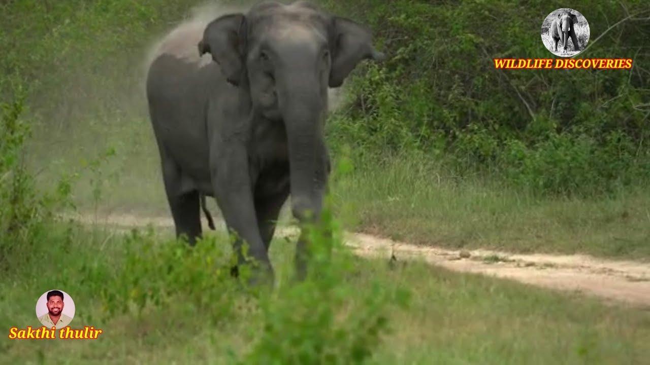 Elephant: I am the King of my forest!!!    எனது காட்டில் நான் தான் ராஜா