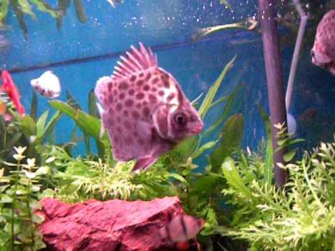 Spotted Scat (Scatophagus Argus) Fish In Fresh Water Aquarium