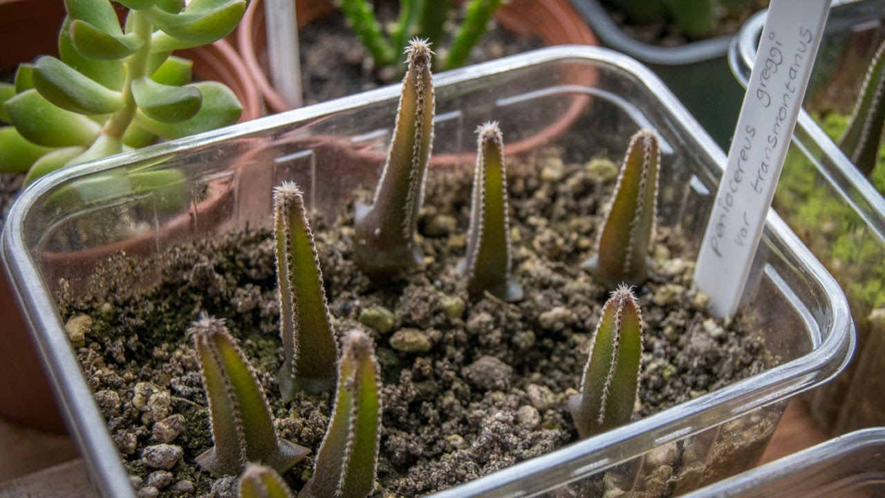 my cacti seedlings from my 'how to grow cacti from seed' video, Natural flower