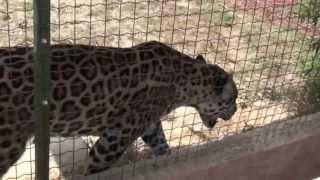 Τζάγκουαρ με στερεοτυπική συμπεριφορά στο Αττικό Ζωολογικό Πάρκο
