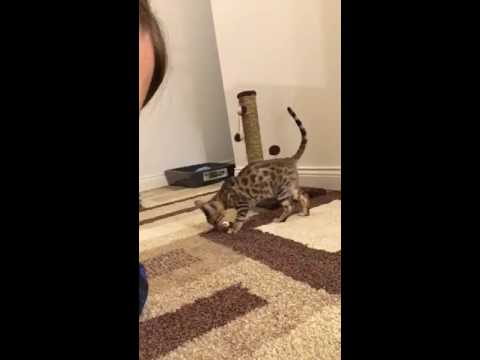 Simba the Bengal cat that likes to fetch