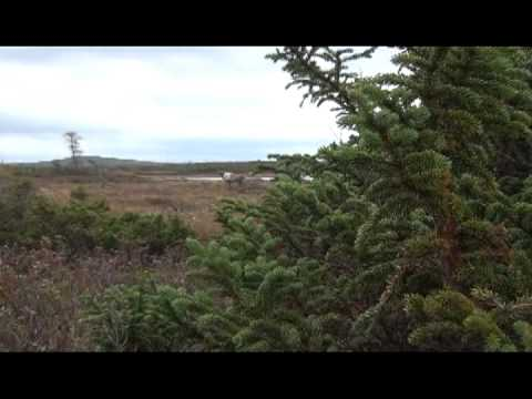 Woodland Caribou Hunting In Newfoundland - Bowhunting With A Decoy