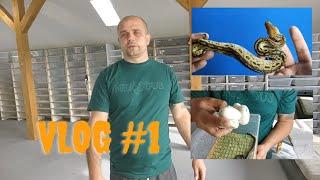 VLOG#1, klucie L.nigrita, jajka z łączenia P.regius x M.spilota, Nowe węże na hodowli. Dużo węży !!!