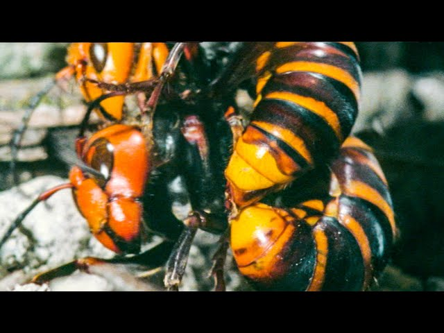 Hornet Queen Murdered By Her Own Daughters | Buddha Bees and The Giant Hornet Queen | BBC Earth