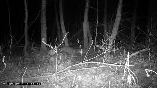Охота на енотов видео ночью смотреть онлайн