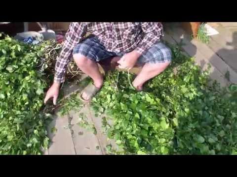 Заготавливаем березовые веники для бани  Жизнь в деревне