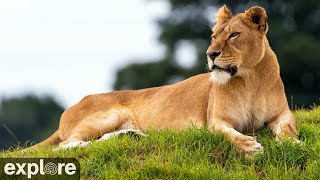 Lioness Nikita - Big Cat Rescue powered by EXPLORE.org thumbnail