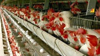 Muda Forçada em Poedeiras - Curso a Distância Galinha Poedeiras Produção e Comercialização de Ovos