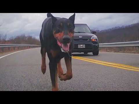 How Fast can a Doberman Pinscher Run