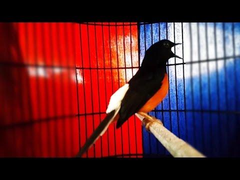 Kicau Burung Murai Batu