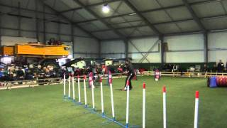 Chester Weimaraner Agility Jumping 1 Team Up 2012
