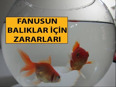 Fanusun Balıklar İçin Zararları