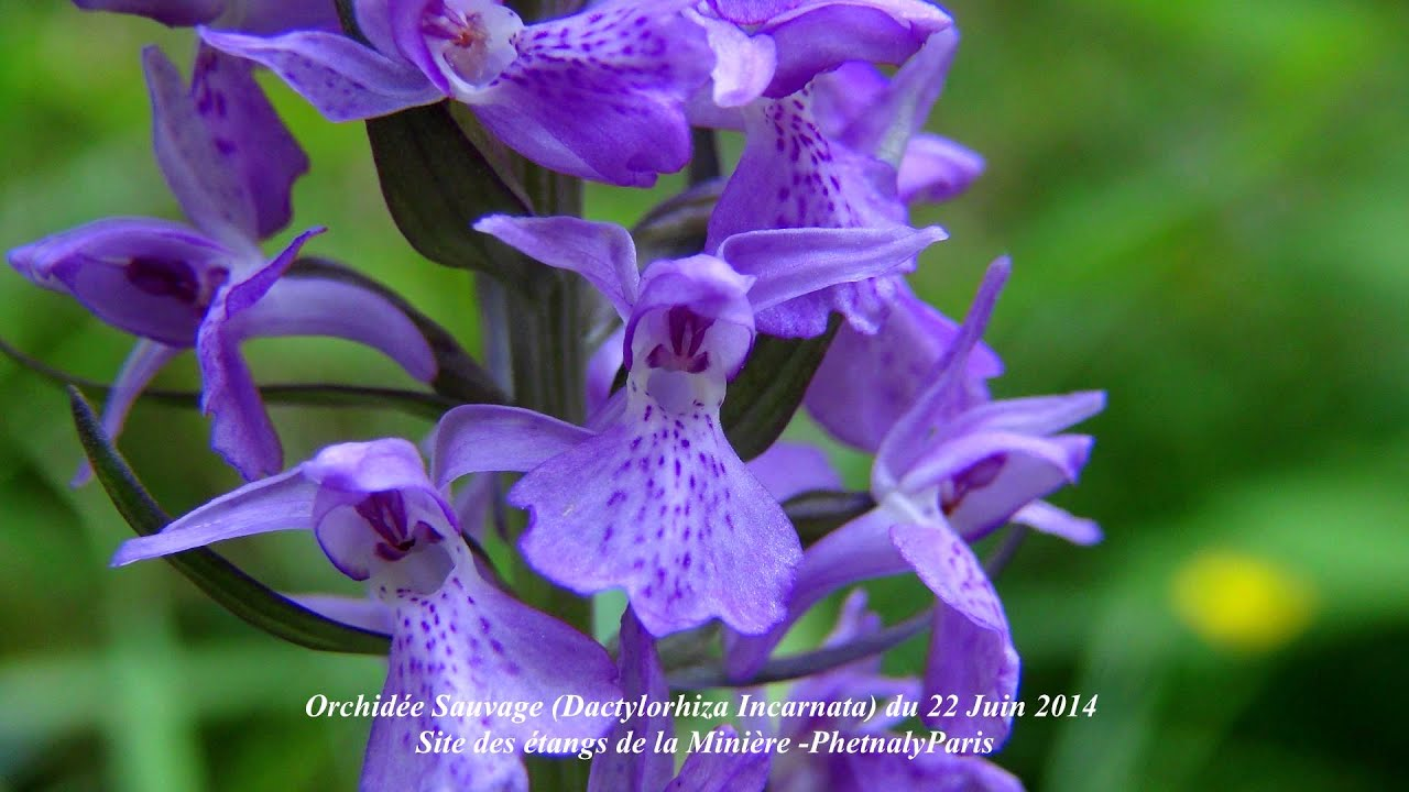 dactylorhiza incarnata orchid e sauvage youtube. Black Bedroom Furniture Sets. Home Design Ideas