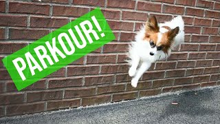 How To Train Your Dog To Jump Off A Wall ( Parkour ) // Percy the Papillon Dog