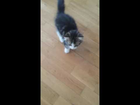 Cute baby kitten crying/whining.