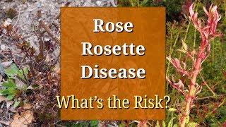 Rose Rosette Disease (Witches' Broom Virus)