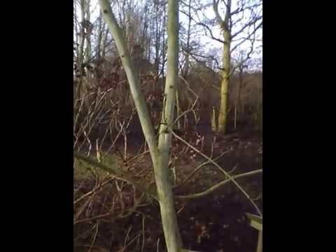 Acer tegmentosum (Snakebark Maple)