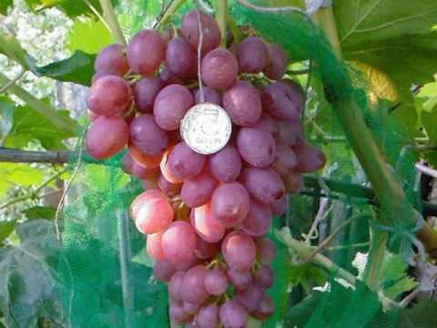 Болезни винограда с фото и фунгициды по борьбе с ними