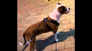 Destiny The Rescue Staffordshire Bull Terrier X Boxer