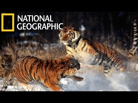 Tigers Revenge Wild Animal Documentary 2015 HD - National Geographic Documentary