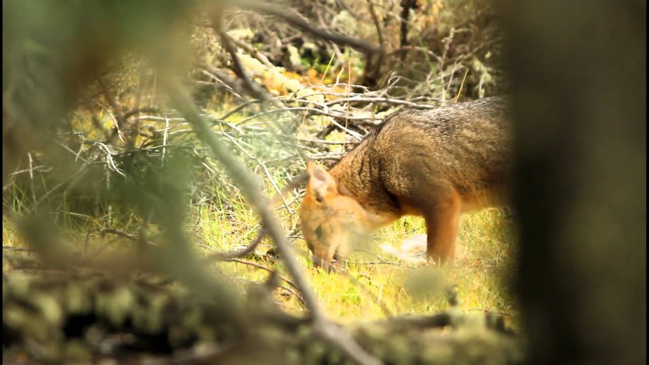 Red fox eating rabbit - photo#54