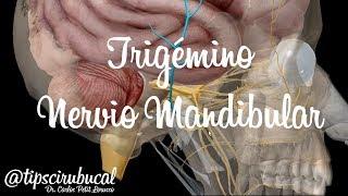 Trigémino Parte 4  Nervio Mandibular V3 / tipscirubucal Anatomía 3D