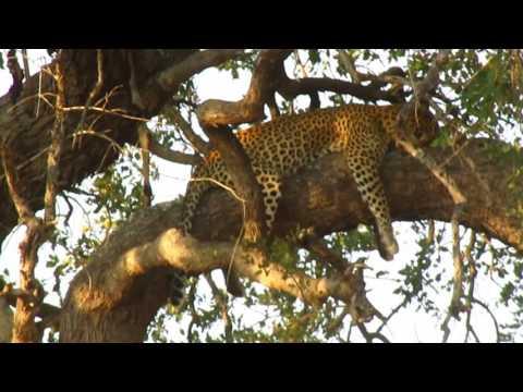 MVI 2484   Luipaard in boom Kruger NP
