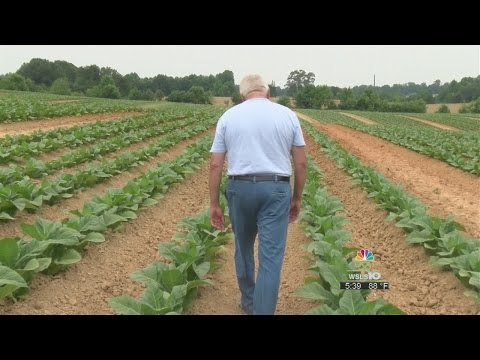 Hot, Dry Weather Both Good And Bad For Tobacco Growers