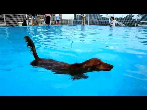 Dachshund Elementary Swimming Class (Dog paddle · swimming practice video)