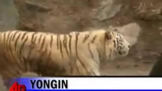 Белый тигр против африканского льва(, 2016-11-27T02:51:47.000Z)