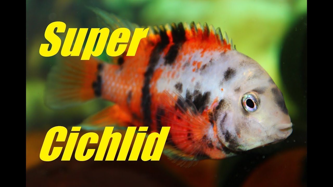 Beautiful Aquarium Fish - Convict Cichlids with Crazy Color (Rare)