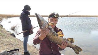 Ловля щуки на спиннинг Бешеный клев щуки Рыбалка с сыном первый трофей Трофейная щука