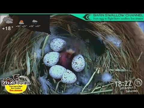 ツバメの雛が巣立つまでLIVE配信/2羽目孵化ハイライト