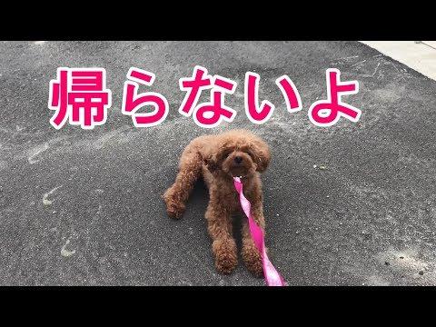 散歩 歩か ない 子犬